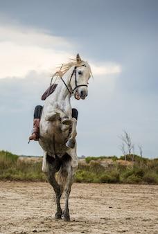 Cavalier sur le cheval blanc de camargue