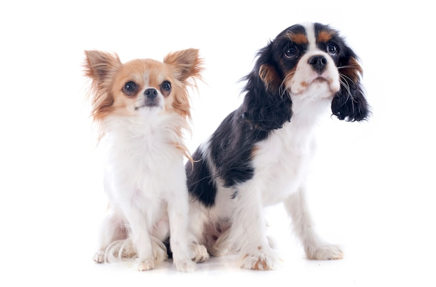 Cavalier king charles et chihuahua