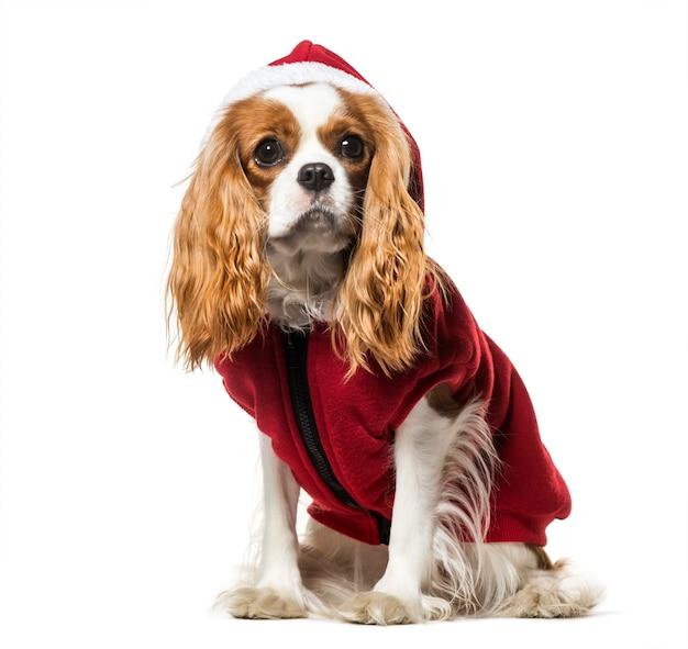 Cavalier king charles spaniel en manteau de chien santa contre surface blanche