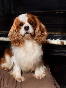 Cavalier king dog au piano.