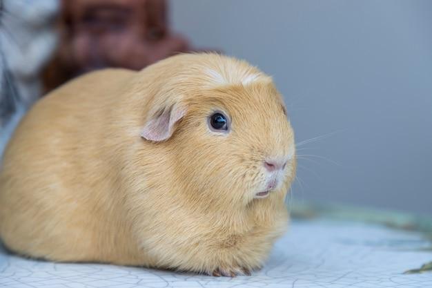 Cavia porcellus, cochon d'inde marron clair, s'asseoir et se détendre seul sur la table.