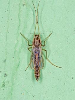 Cécidomyie non piqueuse adulte de la famille des chironomidae