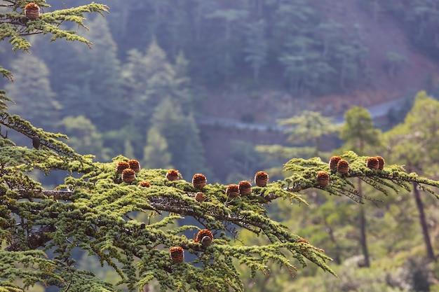 Cèdres verts dans les montagnes de chypre
