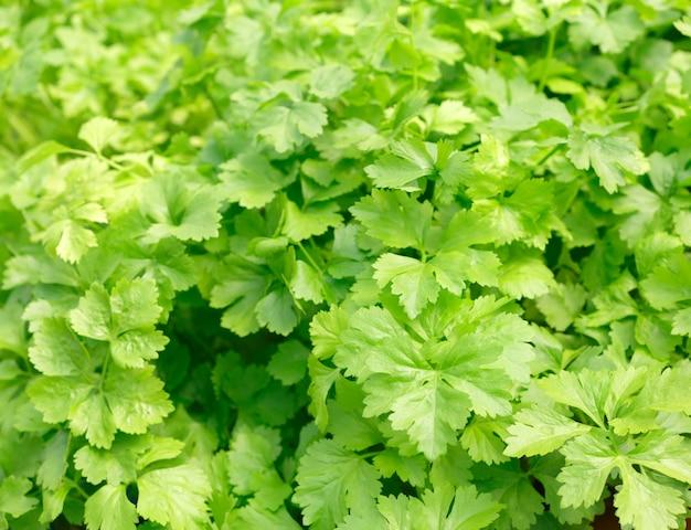 Céleri. méthode hydroponique de culture de plantes utilisant des solutions nutritives minérales, dans l'eau, sans sol. plantation à la main culture hydroponique