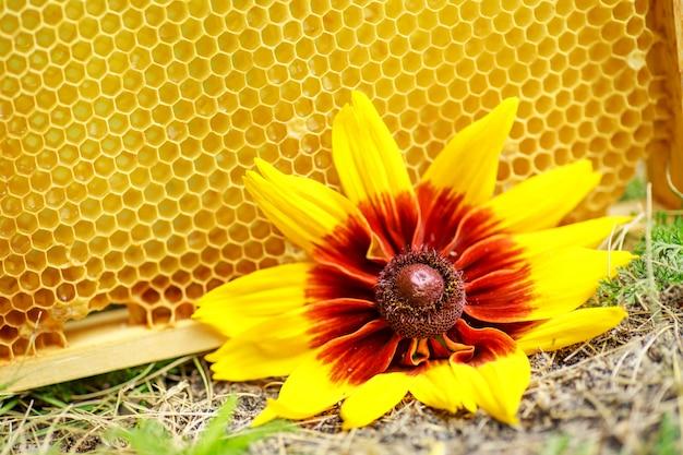 Cellules scellées jaunes sur le cadre. cadre de miel avec du miel mûr. petit cadre en bois avec nids d'abeilles plein de miel d'acacia.
