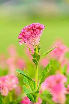 Celosia argentea rose