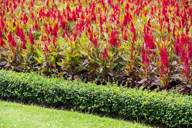 Celosia argentea rouge