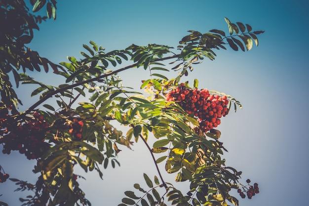 Cendres de montagne en automne