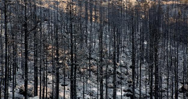 Cendres noires de pin canari après un incendie de forêt à teide