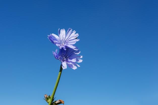 Centaurea cyanus.