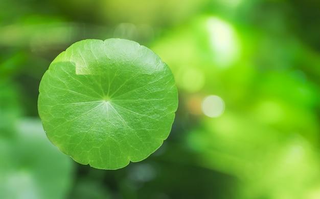 Centella asiatica ou feuille de gotu-kola médicinale asiatique