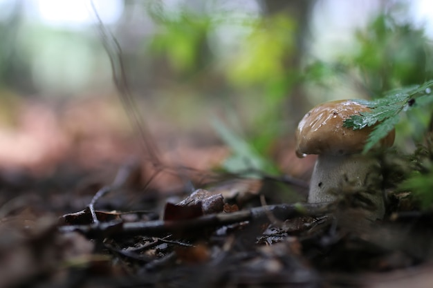 Cèpes champignon goutte d'eau