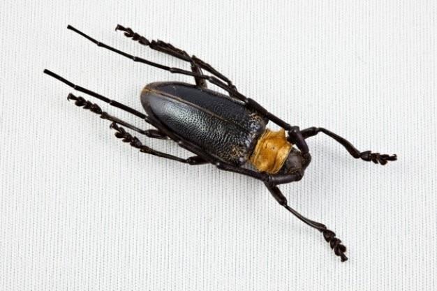 Cerambycidae coléoptère