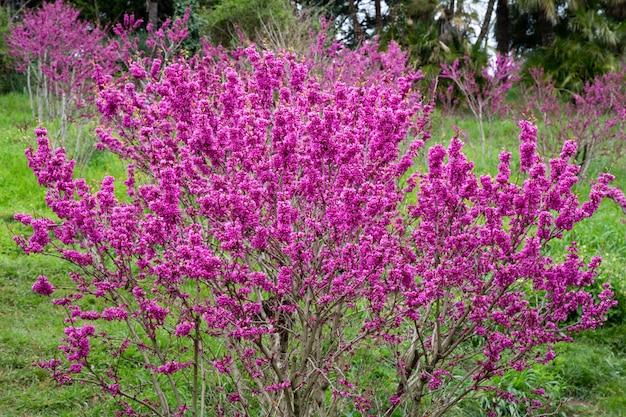 Cercis siliquastrum branches avec fleurs roses au printemps