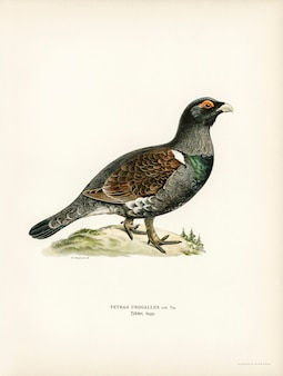 Cercueil occidental (tetrao urogallus) illustré par les frères von wright.