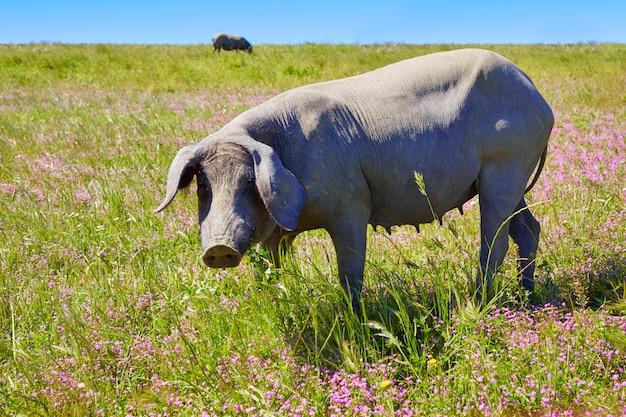 Cerdo ibérique de porc ibérique à dehesa en espagne