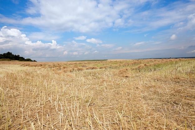 Céréales jaunes mûres - domaine agricole sur lequel poussent des céréales jaunies mûres