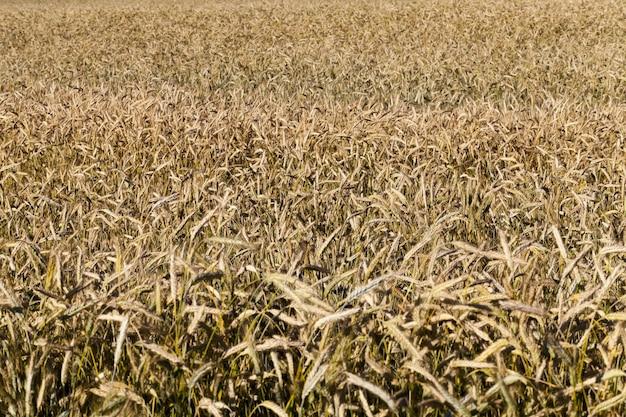 Céréales matures