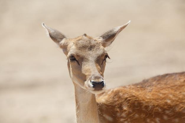 Cerf ou cervus elaphus commun dans une zone de sable sauvage