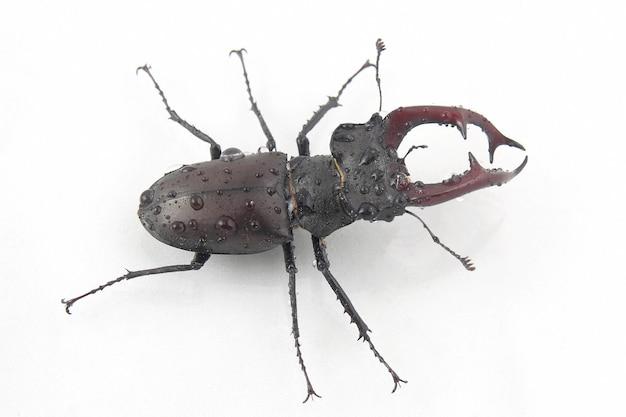 Cerf coléoptère insecte mâle avec bois sur blanc