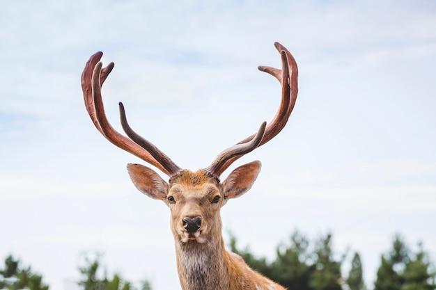 Cerf avec des cornes sur le fond du ciel avec une apparence majestueuse