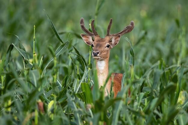 Cerf de daim debout dans un champ de maïs dans la nature estivale