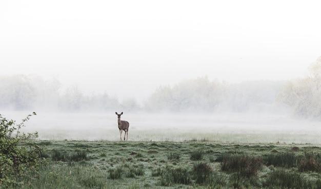 Cerf debout dans un champ d'herbe brumeux
