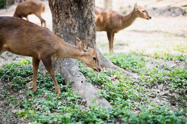 Cerf élaphe et biche marchant et mangeant de l'herbe au zoo