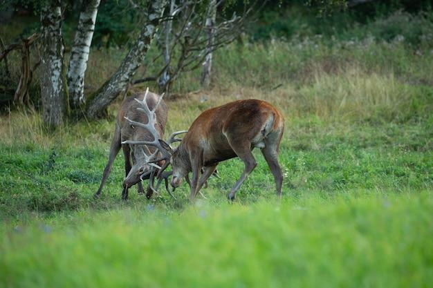 Cerf élaphe sur fond vert pendant le rut du cerf dans l'habitat naturel