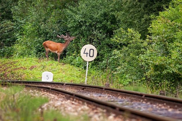 Cerf élaphe se nourrissant près du chemin de fer avec signe en été.