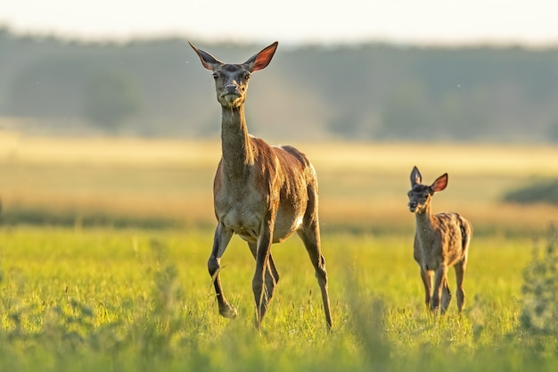 Cerf élaphe avec veau marchant au coucher du soleil.