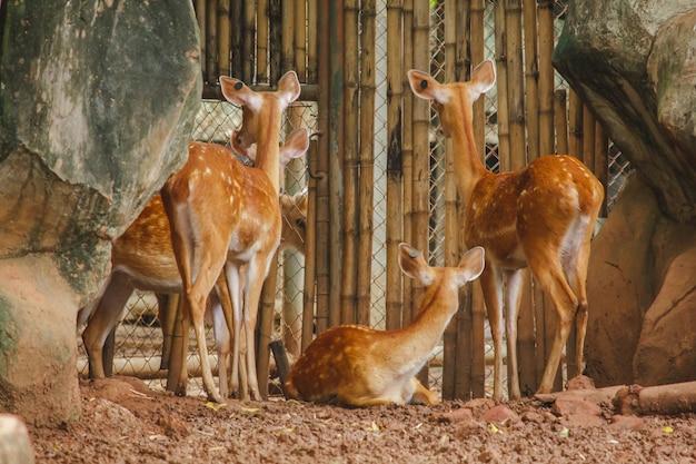 Le cerf est élevé dans le zoo.