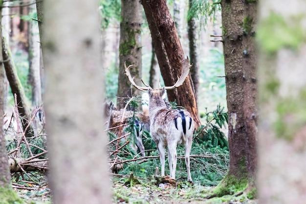 Cerf européen dans la forêt