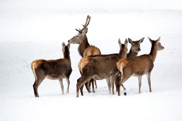 Cerf avec famille en hiver