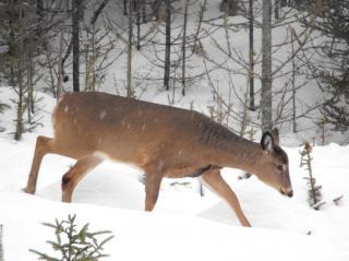 Le cerf, l'hiver