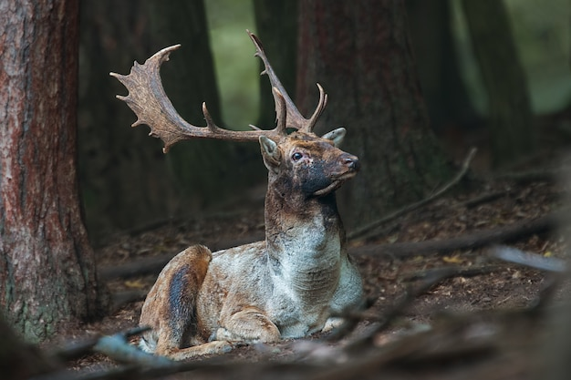 Cerf jachère allongé sur le sol dans une forêt sombre avec la tête haute.