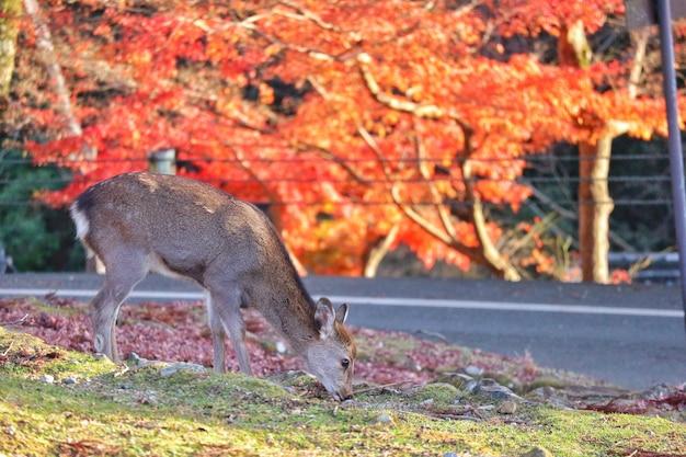 Cerf japonais nourrissant d'herbe à l'érable rouge laisse arbre.