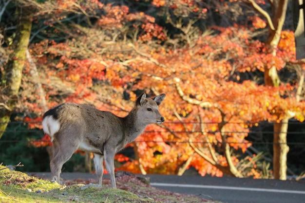 Cerf japonais nourrissant d'herbe à l'érable rouge laisse des arbres.