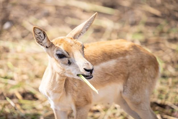 Cerf jaune petit bébé mange de l'herbe