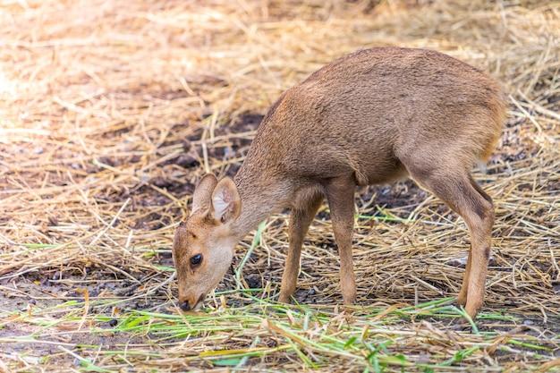 Cerf jaune petit bébé mangeant des herbes sur le sol