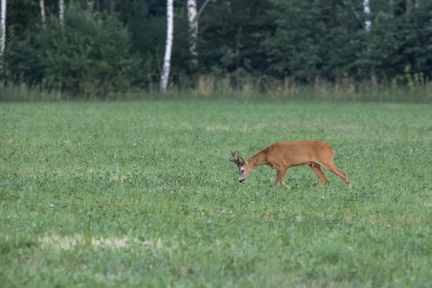 Cerf marchant sur champ vert