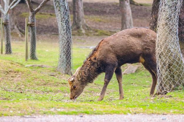 Cerf mignon sympathique sauvage japonais, manger de l'herbe sèche.