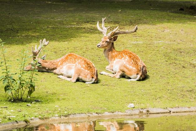 Cerf moucheté couché sur l'herbe verte