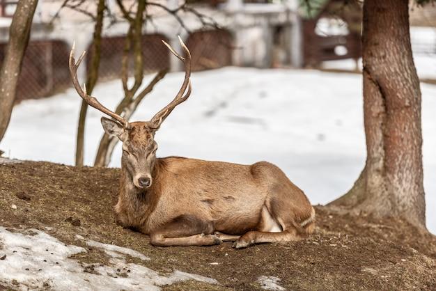 Cerf paisible se reposant sous un arbre en hiver, froide journée d'hiver