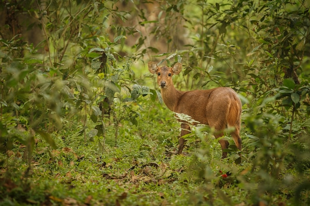 Cerf de porc dans la forêt du parc national de kaziranga en assam