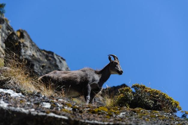 Cerf porte-musc au népal