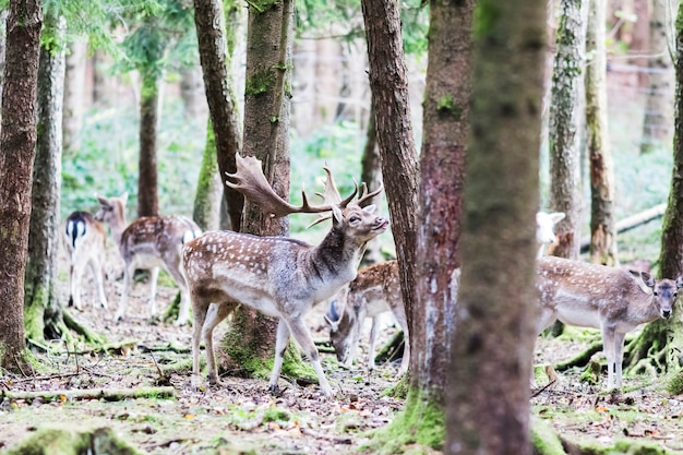Cerf rouge européen dans la forêt