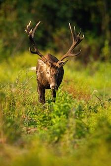 Cerf rouge majestueux avec bois à la recherche vers le bas dans la nature de l'automne.