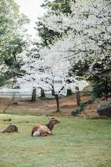 Cerf et sakura à nara au japon