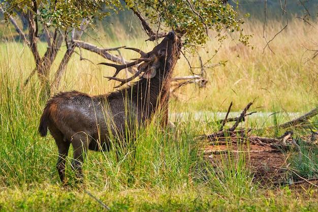 Cerf sambar rusa unicolor mâle dans le parc national de ranthambore, rajasthan, inde